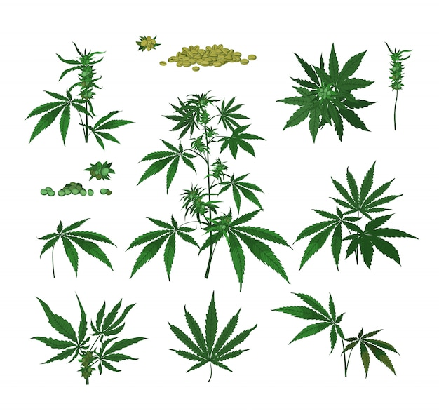 Plantas de cannabis, semillas, ramas.