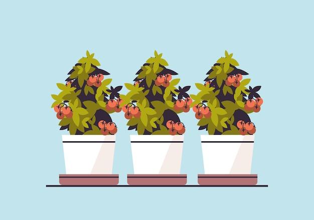 Plantas de tomates en macetas en macetas plantando invernadero jardín botánico concepto ilustración vectorial