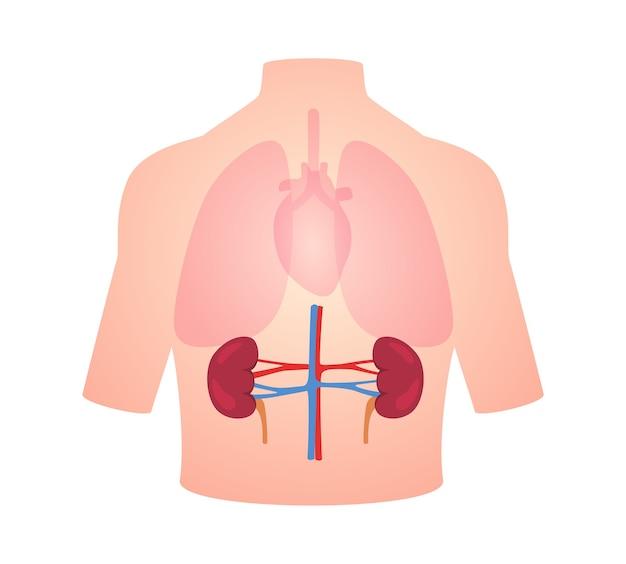 Posición del riñón del órgano de la anatomía humana en el corazón del pulmón del cuerpo transparente