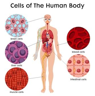 Póster célula del cuerpo humano
