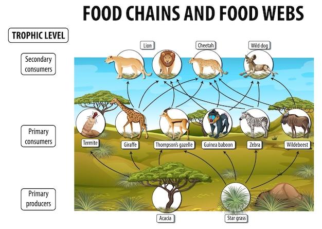 Póster educativo de biología para redes alimentarias y diagrama de cadenas alimentarias.