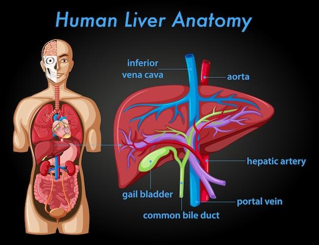 Póster informativo de la anatomía del hígado humano.