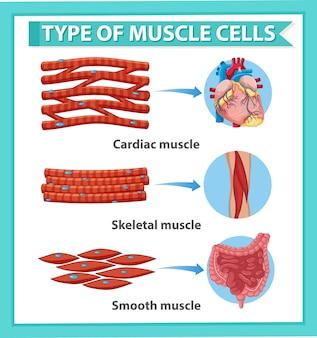 Póster informativo de células musculares.