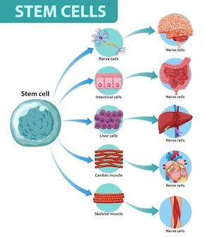 Póster informativo sobre células madre humanas