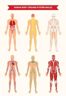 Póster sistemas de órganos del cuerpo masculino