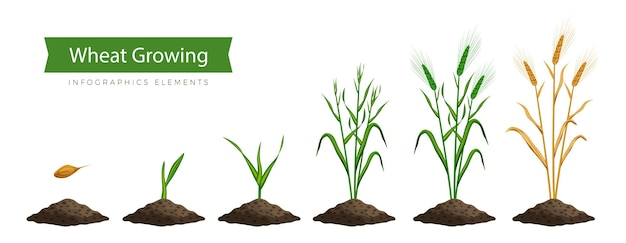Proceso de cultivo de trigo, paso a paso