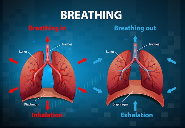 El proceso de respirar explicado