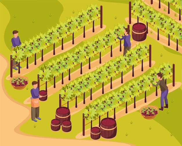Producción de vino con ilustración isométrica de cosecha y viñedo.