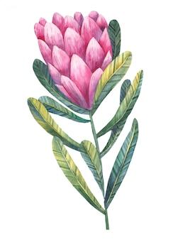 Protea tropical flor aquaerlu ilustración sobre fondo blanco.