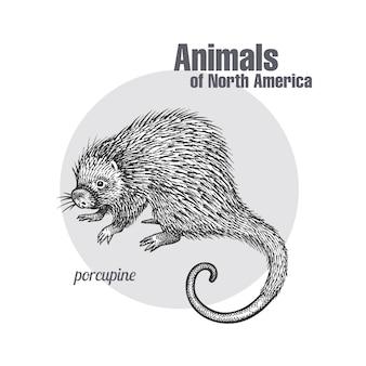 Puerco espín. serie animales de américa del norte.
