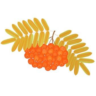 Racimo de bayas de serbal con hojas amarillentas.