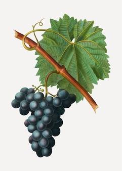 Racimo de uva azul