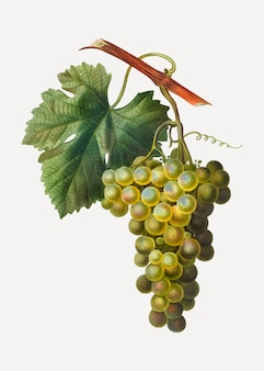 Racimo de uva verde