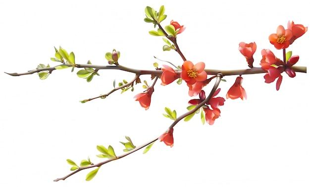 Rama de un árbol con flores de cerezo