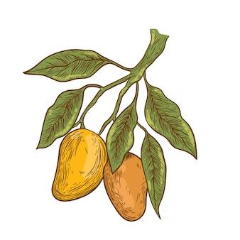 Rama de árbol de mango botánico dibujado a mano con frutas