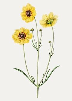 Rama de la flor del coreopsis del tintorero perenne del vintage para la decoración