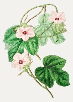 Rama de la flor del ipomoea de mr.aiton de la vendimia para la decoración