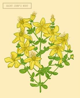 Rama floreciente de la hierba de san juan