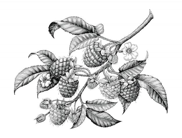 Rama de frambuesa dibujo a mano vintage blanco y negro aislado sobre fondo blanco.