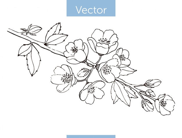 Rama de membrillo en flor. dibujado a mano.