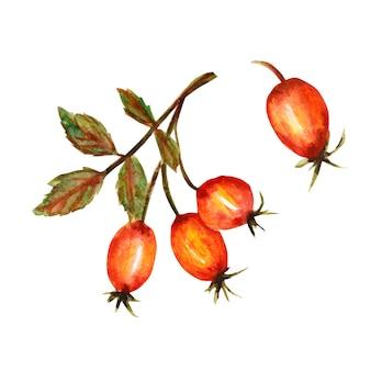 Una rama de perro se levantó con tres bayas rojas y hojas verdes. acuarela, aislado