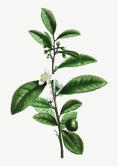 Rama de la planta del té