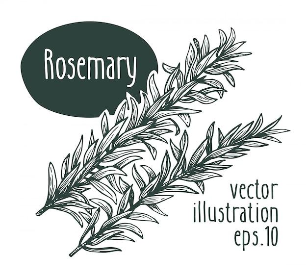 Rama de romero. vector dibujado a mano ilustración.