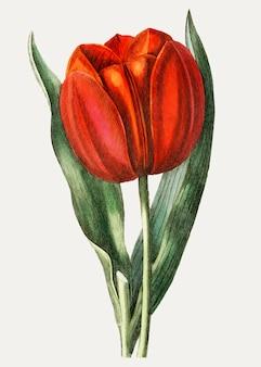 Rama de tulipán de gesner vintage para decoración.