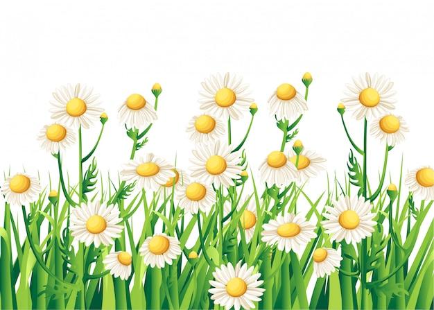 Ramo realista margarita, flores de manzanilla sobre fondo blanco. tarjeta de ilustración té de manzanilla ilustración médica