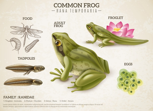 Rana estilo de vida retro biología ciencia cartel educativo con huevos de animales adultos renacuajos masivos ranas
