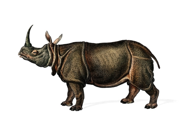 Rinoceronte indio (rhinoceros unicornis)