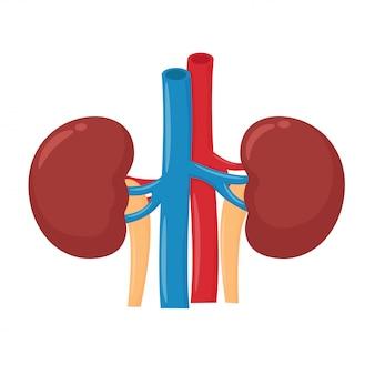 El riñón es responsable de la excreción de productos de desecho del cuerpo.