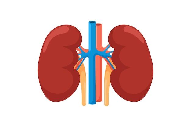 Riñón órgano interno humano. ilustración de vector de vista frontal del sistema endocrino urinario
