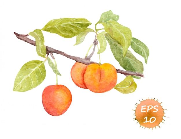 Rojo cereza ciruela frutas en rama con hojas.