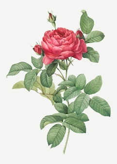 Rosa galica roja