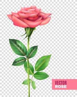 Rosa y pétalos de conjunto transparente