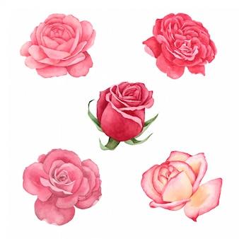 Rosa pintada a mano en coleccion acuarela.