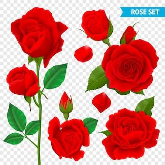 Rosa realista conjunto transparente con flores rojas aisladas.