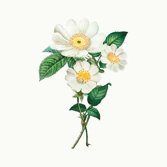 Rosas de macartney