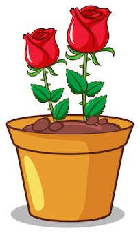 Rosas rojas sobre fondo blanco