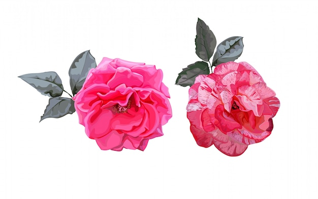 Rosas rosadas con hojas en blanco