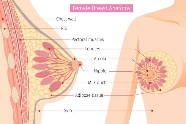 Sección transversal de la anatomía del seno femenino