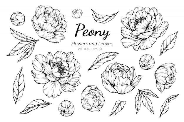 Sistema de la colección de la flor de la peonía y de las hojas que dibujan el ejemplo.