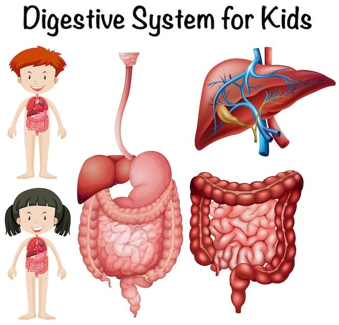 Sistema Digestivo   Fotos y Vectores gratis