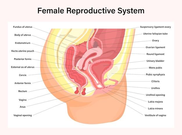 Sistema reproductivo femenino