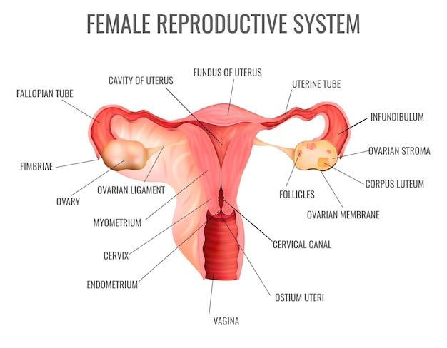 Sistema reproductor femenino y sus partes principales.