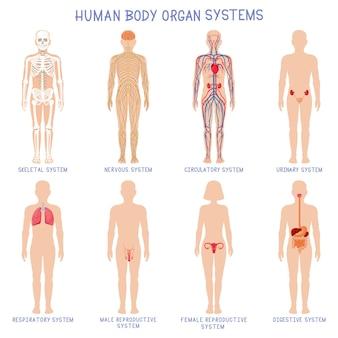 Sistemas de órganos del cuerpo humano de dibujos animados. sistemas de biología anatómica, esqueleto, nervioso y reproductivo