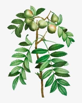 Sorb manzano