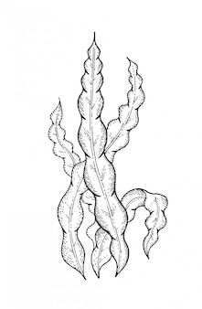 Spirulina laminaria algas submarinas.