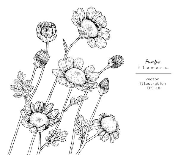 Tanacetum matricaria dibujos de flores.